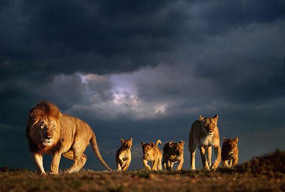 PW-2532 Lion family Lion Family